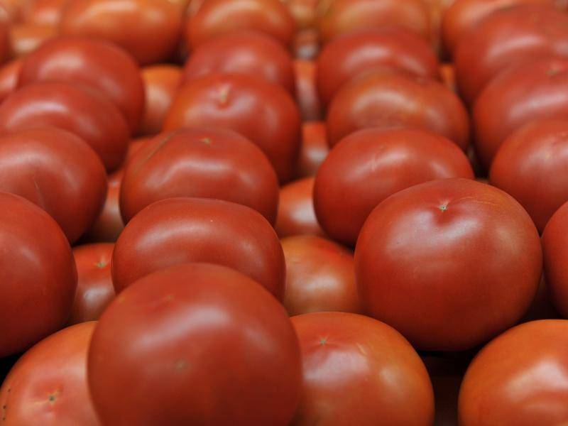 Some 160 workers from the Pacific Islands will help pick NSW's $50 million tomato crop.